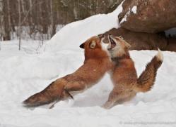 red-fox3843-montana-copyright-photographers-on-safari-com