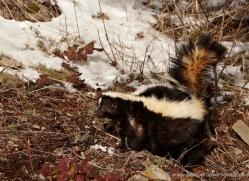 skunk3805-montana-copyright-photographers-on-safari-com