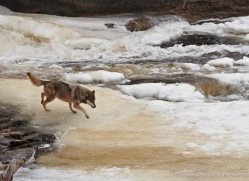 wolf3790-montana-copyright-photographers-on-safari-com