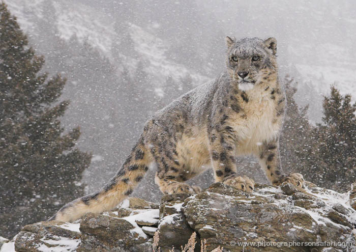 Montana Usa Big Cats In The Snow Photography Workshop