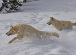 Arctic Wolf 2014-3copyright-photographers-on-safari-com