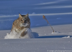 Bobcat 2014-3copyright-photographers-on-safari-com