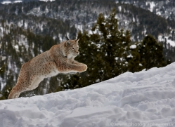 Lynx 2014-2copyright-photographers-on-safari-com