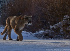 Mountain Lion 2014-11copyright-photographers-on-safari-com