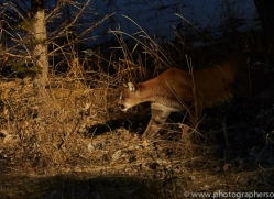 Mountain Lion 2014-4copyright-photographers-on-safari-com