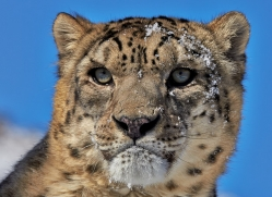 Snow Leopard 2014-2copyright-photographers-on-safari-com