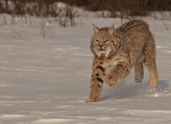 bobcat-3619-montana-copyright-photographers-on-safari-com