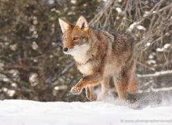 coyote-3668-montana-copyright-photographers-on-safari-com