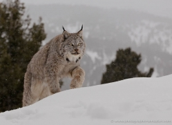 lynx-3632-montana-copyright-photographers-on-safari-com