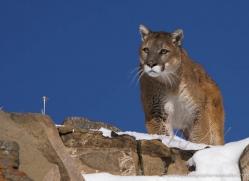 mountain-lion-puma-3521-montana-copyright-photographers-on-safari-com