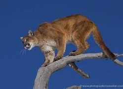 mountain-lion-puma-3522-montana-copyright-photographers-on-safari-com