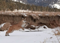 mountain-lion-puma-3528-montana-copyright-photographers-on-safari-com