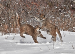 mountain-lion-puma-3540-montana-copyright-photographers-on-safari-com