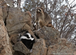 skunk-3662-montana-copyright-photographers-on-safari-com