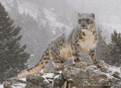 snow-leopard-3470-montana-copyright-photographers-on-safari-com