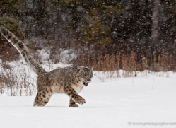 snow-leopard-3488-montana-copyright-photographers-on-safari-com