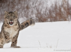 snow-leopard-3489-montana-copyright-photographers-on-safari-com