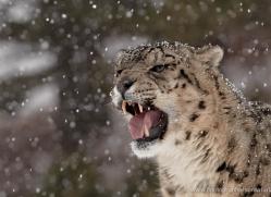 snow-leopard-3492-montana-copyright-photographers-on-safari-com