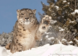snow-leopard-3496-montana-copyright-photographers-on-safari-com