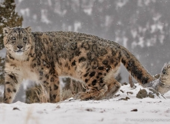 snow-leopard-3505-montana-copyright-photographers-on-safari-com