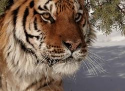 tiger-tiger-in-snow-3673-montana-copyright-photographers-on-safari-com