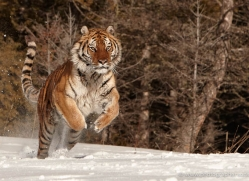 tiger-tiger-in-snow-3689-montana-copyright-photographers-on-safari-com