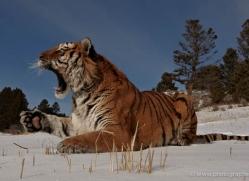 tiger-tiger-in-snow-3699-montana-copyright-photographers-on-safari-com