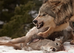 wolf-3582-montana-copyright-photographers-on-safari-com