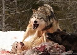 wolf-3590-montana-copyright-photographers-on-safari-com
