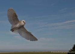 barn-owl-4140-northumberland-copyright-photographers-on-safari-com