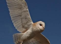 barn-owl-4141-northumberland-copyright-photographers-on-safari-com