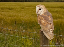 barn-owl-4147-northumberland-copyright-photographers-on-safari-com