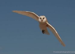 barn-owl-4151-northumberland-copyright-photographers-on-safari-com