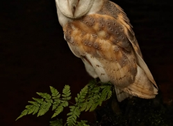 barn-owl-4152-northumberland-copyright-photographers-on-safari-com