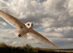 barn-owl-4154-northumberland-copyright-photographers-on-safari-com