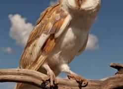 barn-owl-4157-northumberland-copyright-photographers-on-safari-com