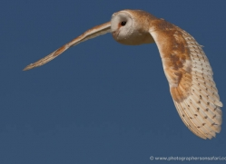 barn-owl-4158-northumberland-copyright-photographers-on-safari-com