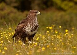 buzzard-4118-northumberland-copyright-photographers-on-safari-com