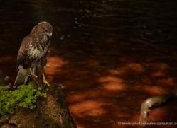 buzzard-4122-northumberland-copyright-photographers-on-safari-com