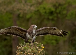 buzzard-4123-northumberland-copyright-photographers-on-safari-com