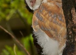 Barn Owl 2014-3copyright-photographers-on-safari-com