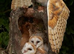 Barn Owl 2014-8copyright-photographers-on-safari-com