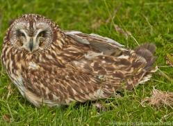 Short-Eared-Owl-copyright-photographers-on-safari-com-6566