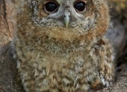 Tawny Owl 2014-1copyright-photographers-on-safari-com