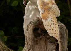 barn-owl-copyright-photographers-on-safari-com-8477