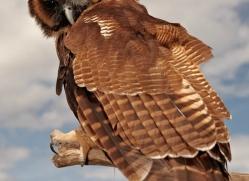 brown-wood-owl-4183-northumberland-copyright-photographers-on-safari-com