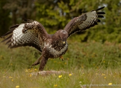 buzzard-4126-northumberland-copyright-photographers-on-safari-com