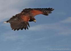 harris-hawk-4186-northumberland-copyright-photographers-on-safari-com