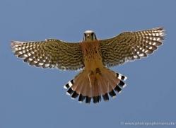 kestrel-4190-northumberland-copyright-photographers-on-safari-com