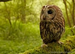 tawny-owl-4162-northumberland-copyright-photographers-on-safari-com